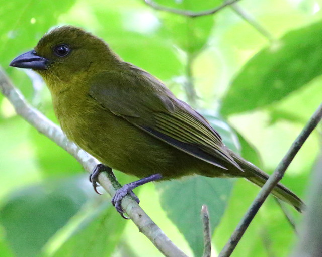 Header of carmiol's tanager