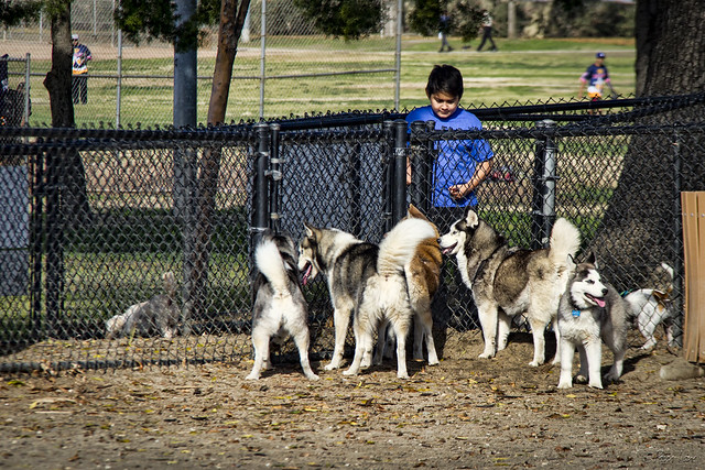 Huskies at the dog park