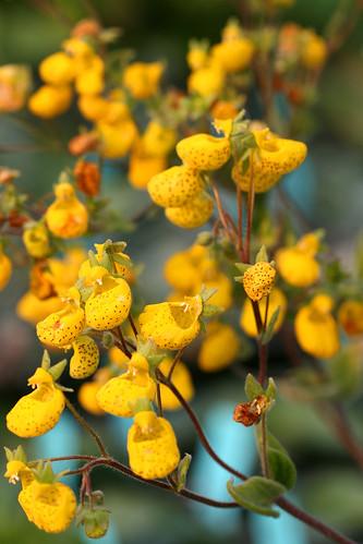 Calceolaria corymbosa floccosa