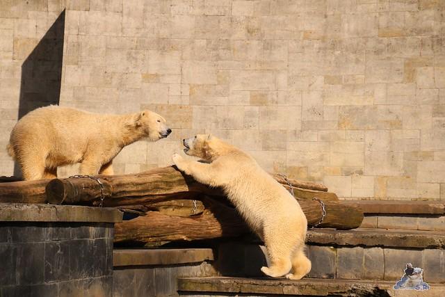 Eisbär Fiete im Zoo Rostock 20.03.2016  0241