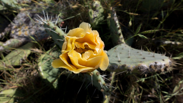 Big coastal prickly pear (Opuntia oricola)