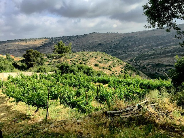 #goodmorning #Israel#nataf#wineyard#vineyrd#holyland#instalike #instadaily #instagram#nature#middleast