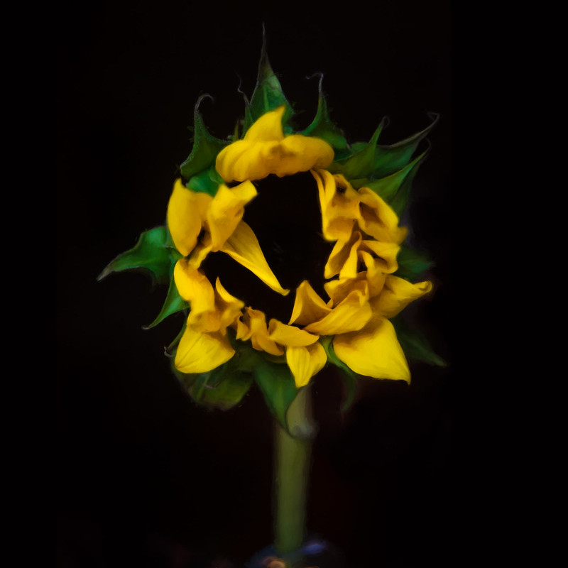 95-366 Sunflower