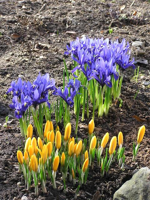 Crocus 'Yellow Mammoth' & Iris reticulata 'Harmony'