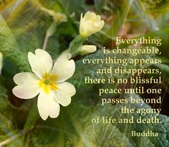 #primrose #flower with #buddhist #quote #photography on #instagram @photobypixie