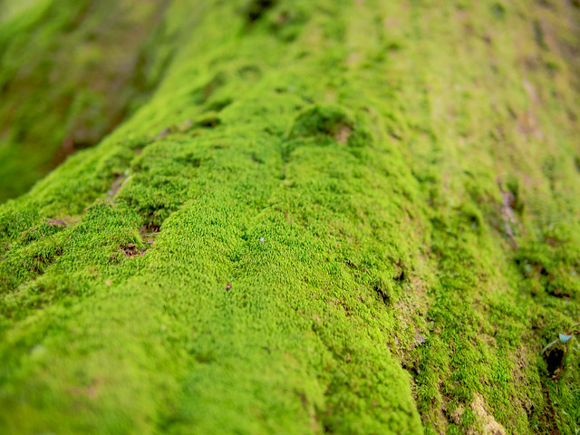 Mossy tree in Tamaki shrine