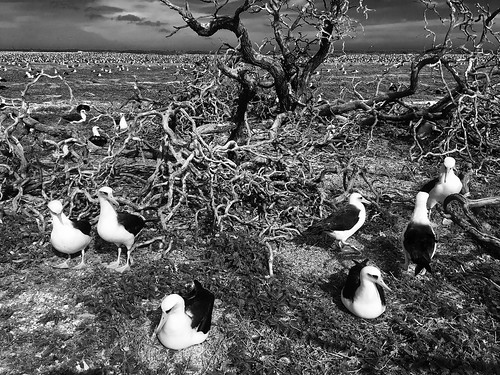 island midway eastern albatross laysan