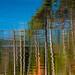 Pine Reflections, Acadia N.P.