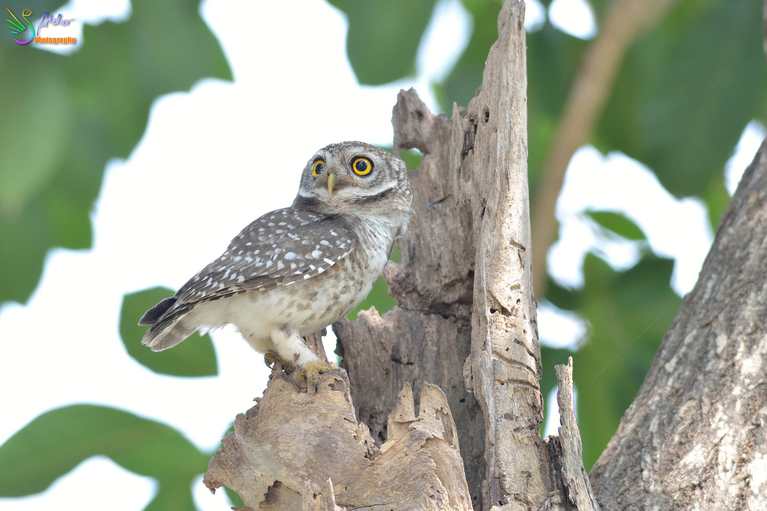 Spotted_Owlet_2721
