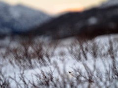 I really like taking pictures of ptarmigan...you'll have to look close in this one