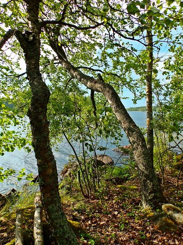 summer lake plant tree nature forest finland landscape scenery view outdoor shore