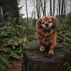 :heart:️:dog::paw_prints: #wildwoodtrail #pdx