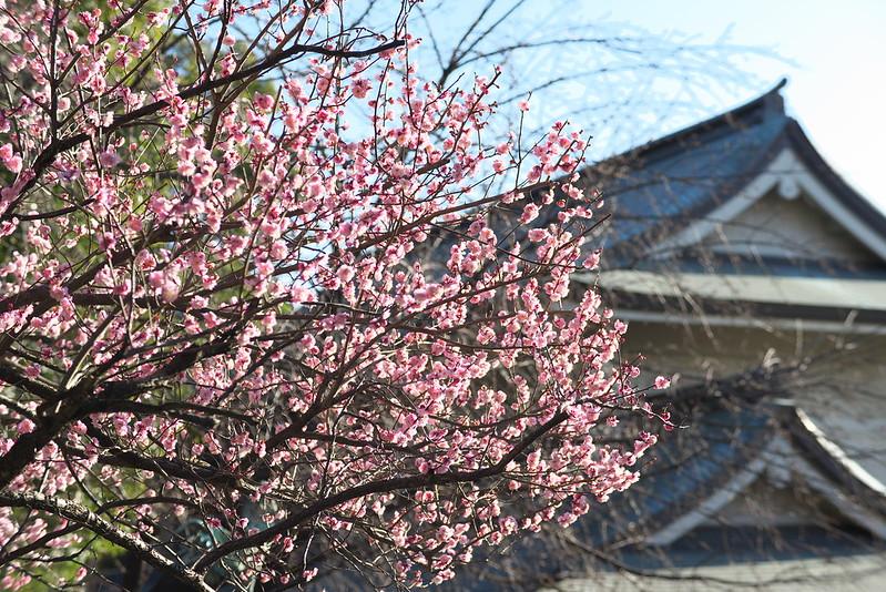 東京路地裏散歩 五條天神社の梅 2016年2月10日