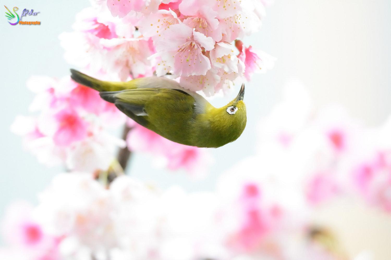 Sakura_White-eye_7419