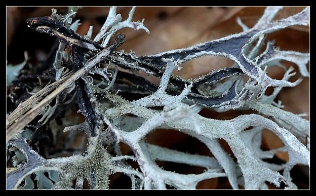 Pseudevernia furfuracea - évernie poudreuse  25563006975_b51c2b7f83_z