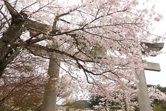 竈門神社の桜