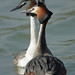 Grebe Courtship 6 by Hugobian