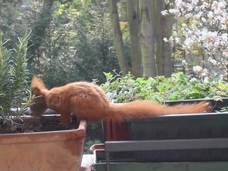 Eichhörnchen6
