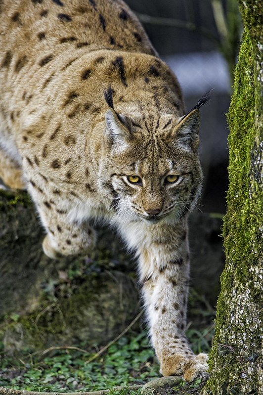 Lynx carefully approaching