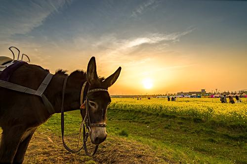 sunset evening donkey