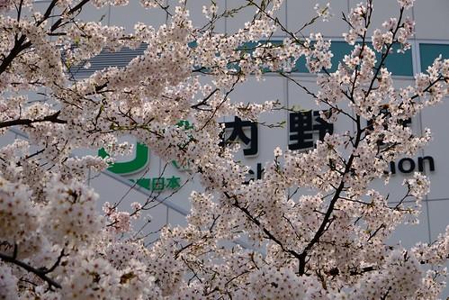 内野の桜 2016