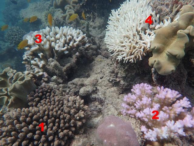 圖5. 不同白化等級的珊瑚示意圖,紅色的數字1~4代表此顆珊瑚的白化等級。1)健康,顏色正常;2)顏色較正常情況下淡,但尚未白化;3)1-50%已經白化;4)51-99%發生白化。圖片來源:郭兆揚