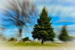 160409-pine-tree-zoomed.jpg