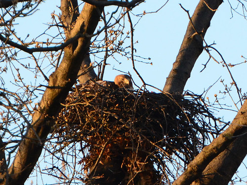 Riverside Hawk Nest - 7042