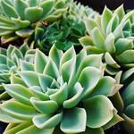 Succulent Fractals