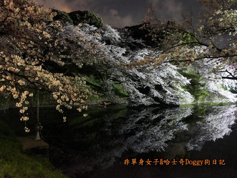 日本東京北之丸公園千鳥之淵賞夜櫻花08