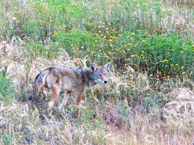 my wounded coyote friend