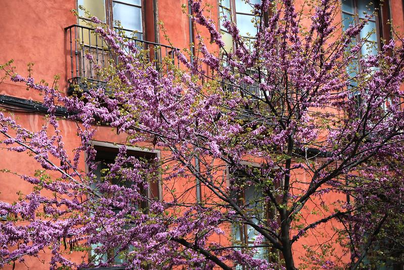 arbre-en-fleur-madrid