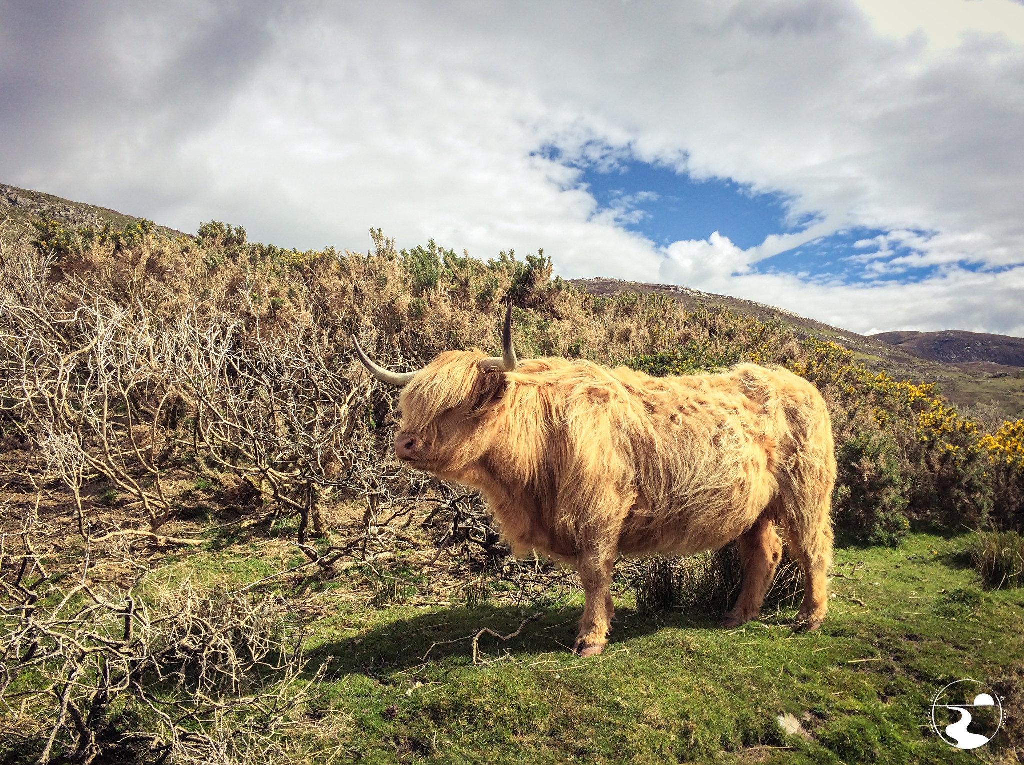Vaca melenuda