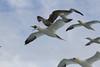 Four Gannets