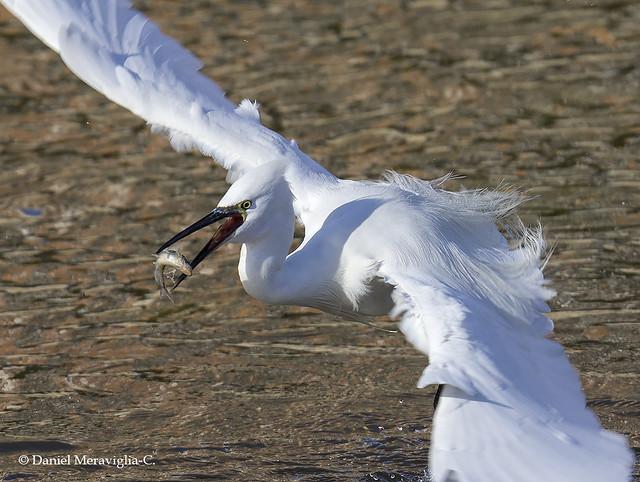 Little egret fishing! (Egretta garzetta)
