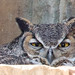 Great horned owl by jim_mcculloch