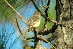 Great Crested Flycatcher, Corkscrew Swamp, FL 1/18/2016