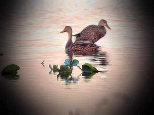 Mottled Ducks at sunrise HDRV 20160301