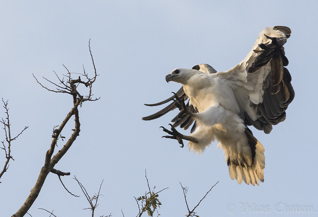 White-bellied Sea Eagle - Approaching the landing zone.