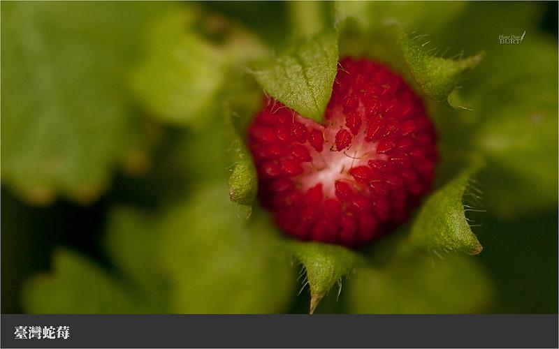 008臺灣蛇莓