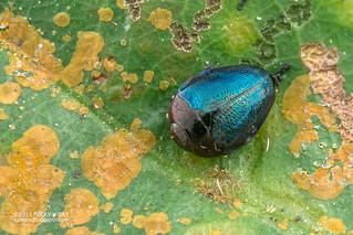 Jewel beetle (Pachyscelus orientalis) - DSC_5022