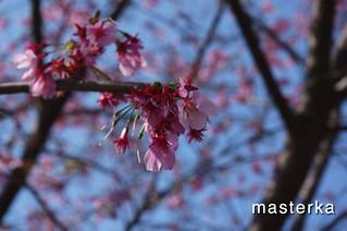 掛川の桜アップ