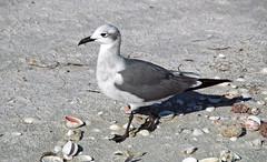 Leucophaeus atricilla atricilla (laughing gull) (Sanibel Island, Florida, USA)