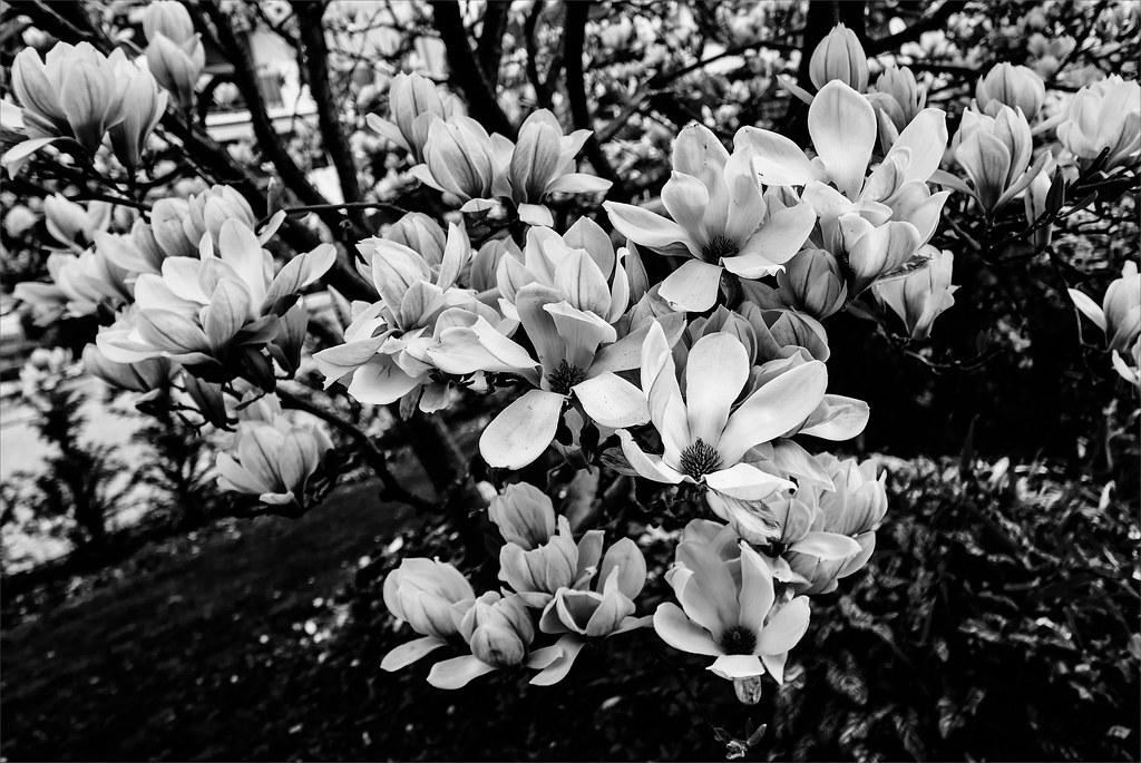 Magnolia 26051701610_a0414c1df4_b