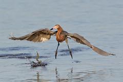 Reddish Egret chases a fish