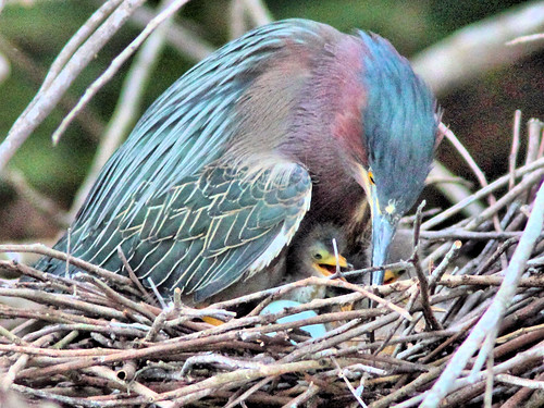 Green Heron 17-5 with hatchlings HDR 01-20160413