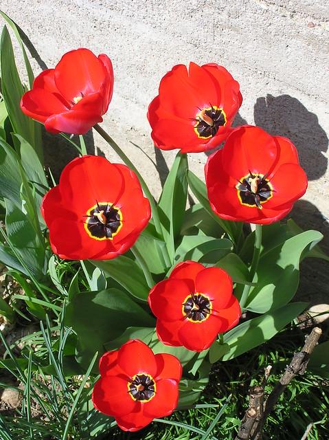 Tulipa cv