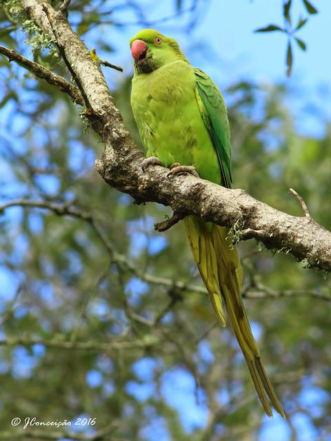 Periquito de colar - Psittacula krameri - Rose ringed Parakeet