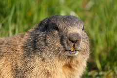 Marmot Closeup