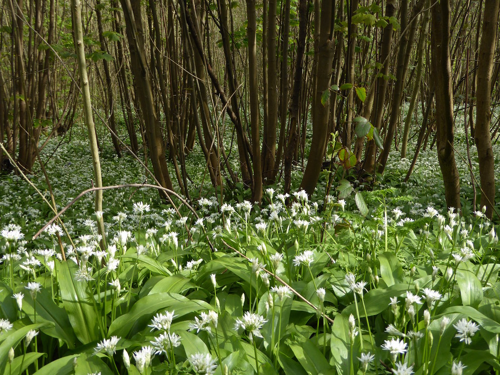Wild garlic wood near Ightham Mote Yalding to Sevenoaks walk